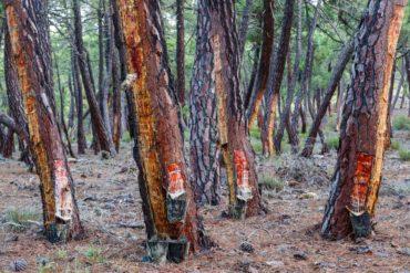 allarme parassita del pino