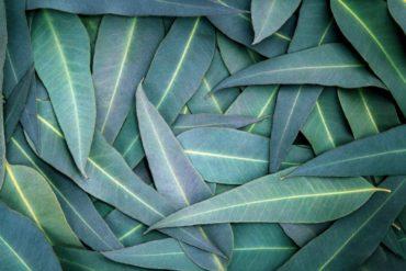 come coltivare l'eucalipto