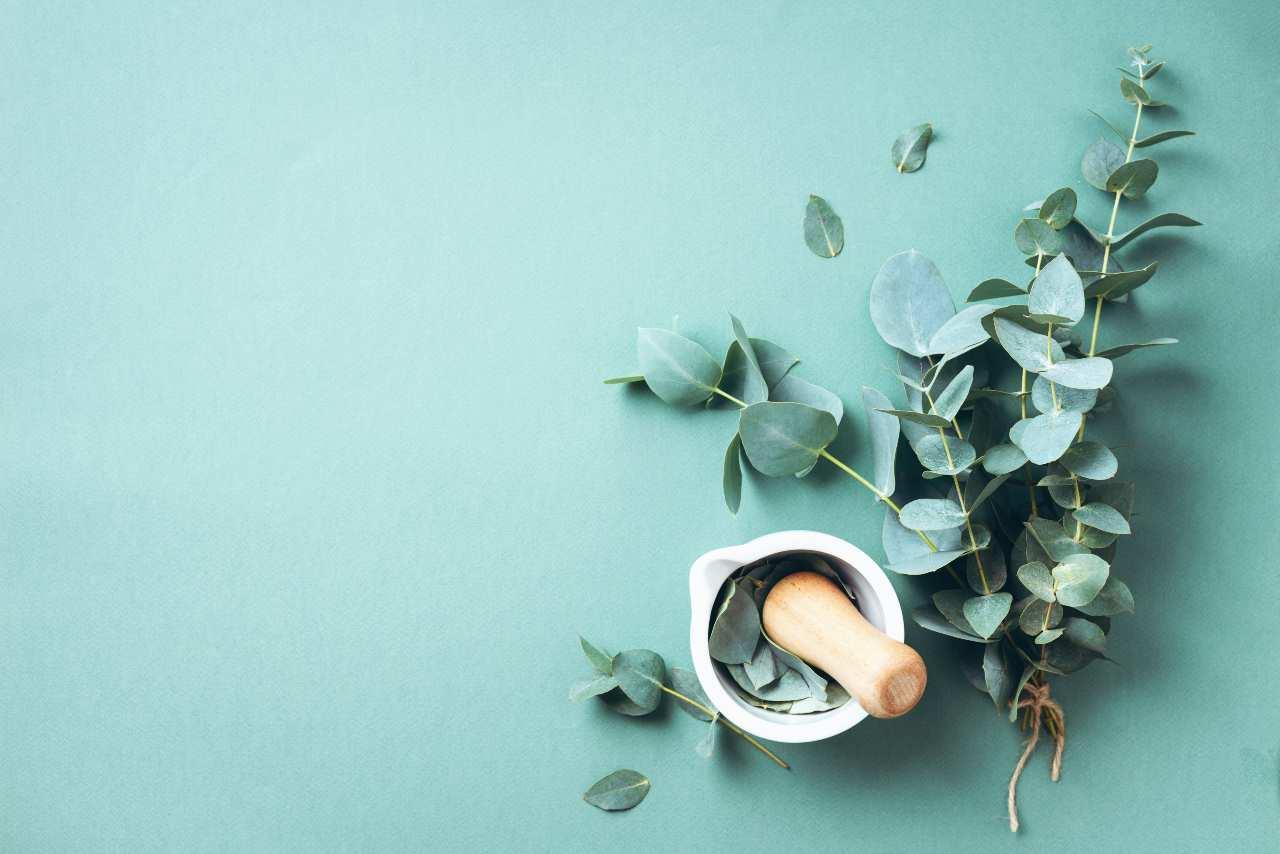 Come coltivare l'eucalipto, anche in un vaso. Pianta con i fiori che ricordano quelli del mirto
