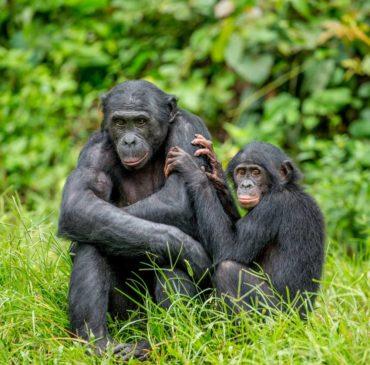 come vive il bonobo