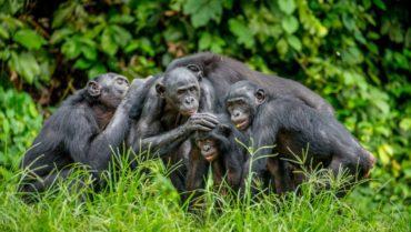 come vivono i bonobo