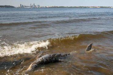 malattia di acqua dolce delfini