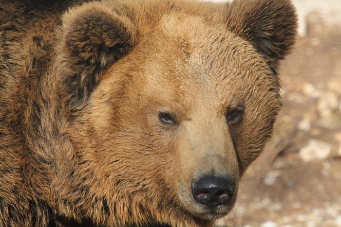 come salvare orso marsicano