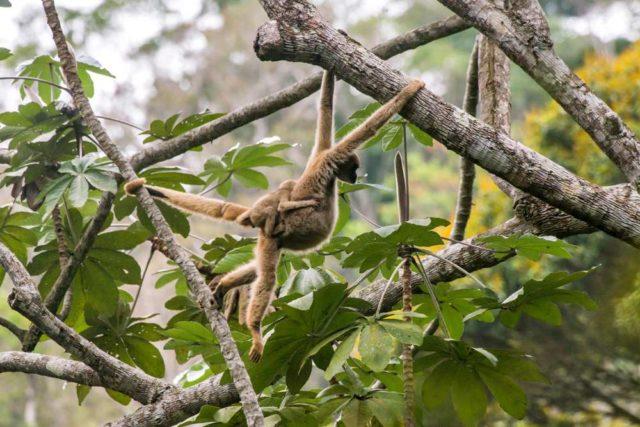 scimmie murichi