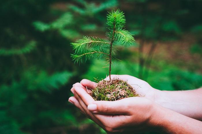 Come coltivare il pino: le regole per crescere piante rigogliose sia in vaso sia in giardino