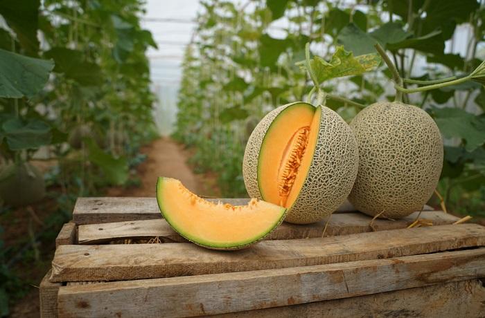 come coltivare il melone