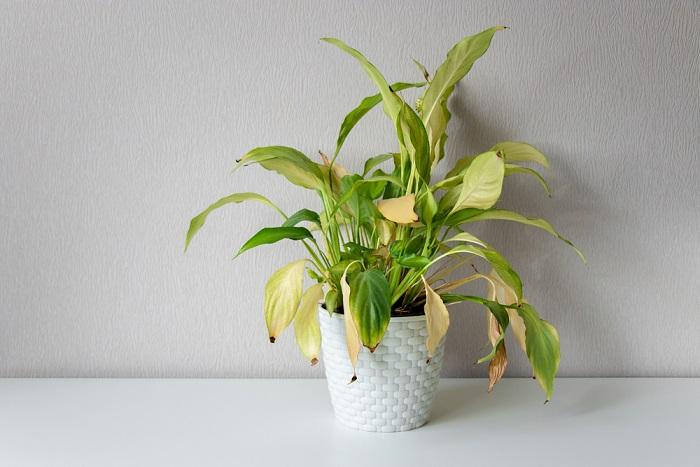 come recuperare una pianta che soffre